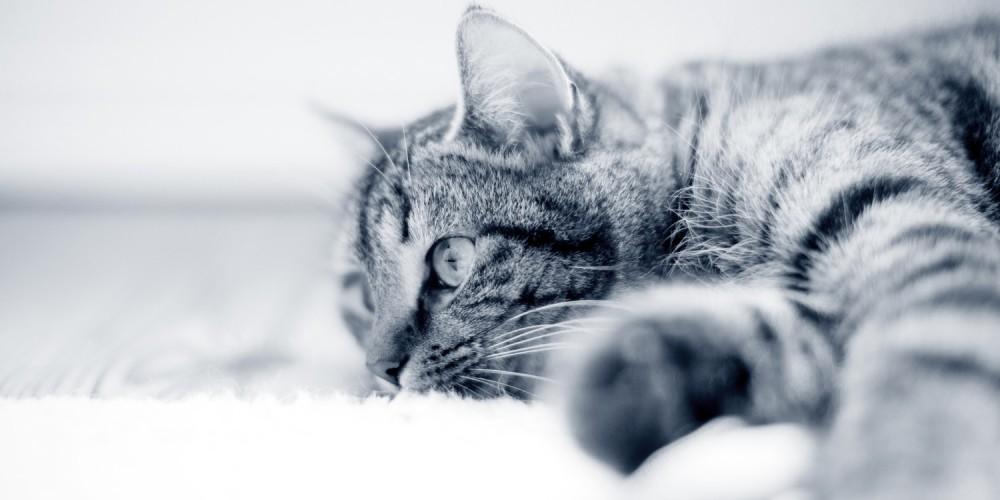 Koloskopiundersøgelse af kat og hund