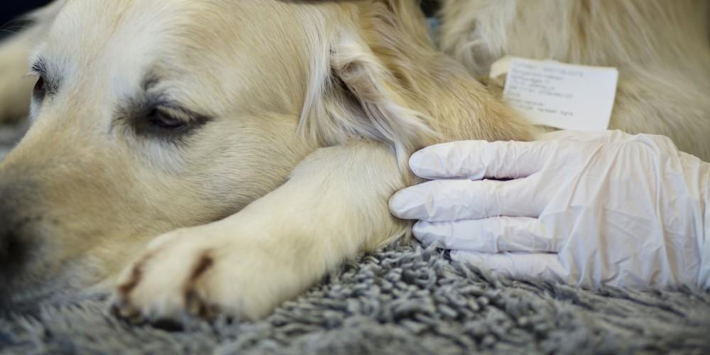 Sterilisation af hund