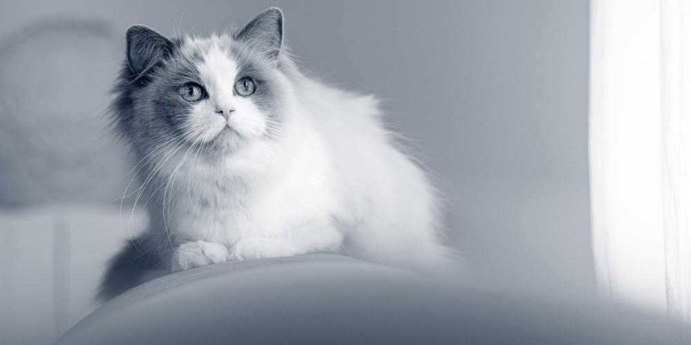 Tandudtrækning kat