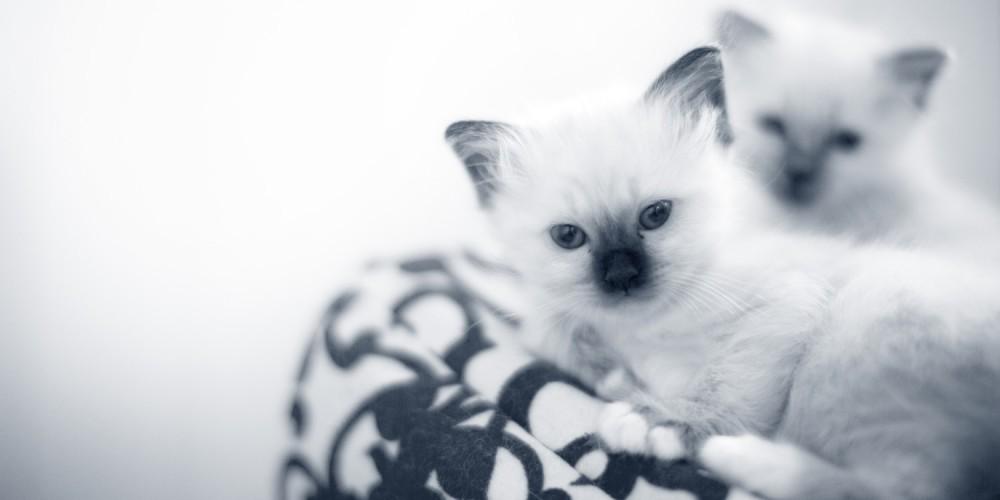 Vaccination af kat