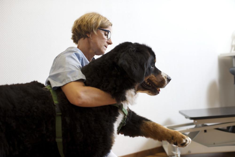 hernia inguinal perros