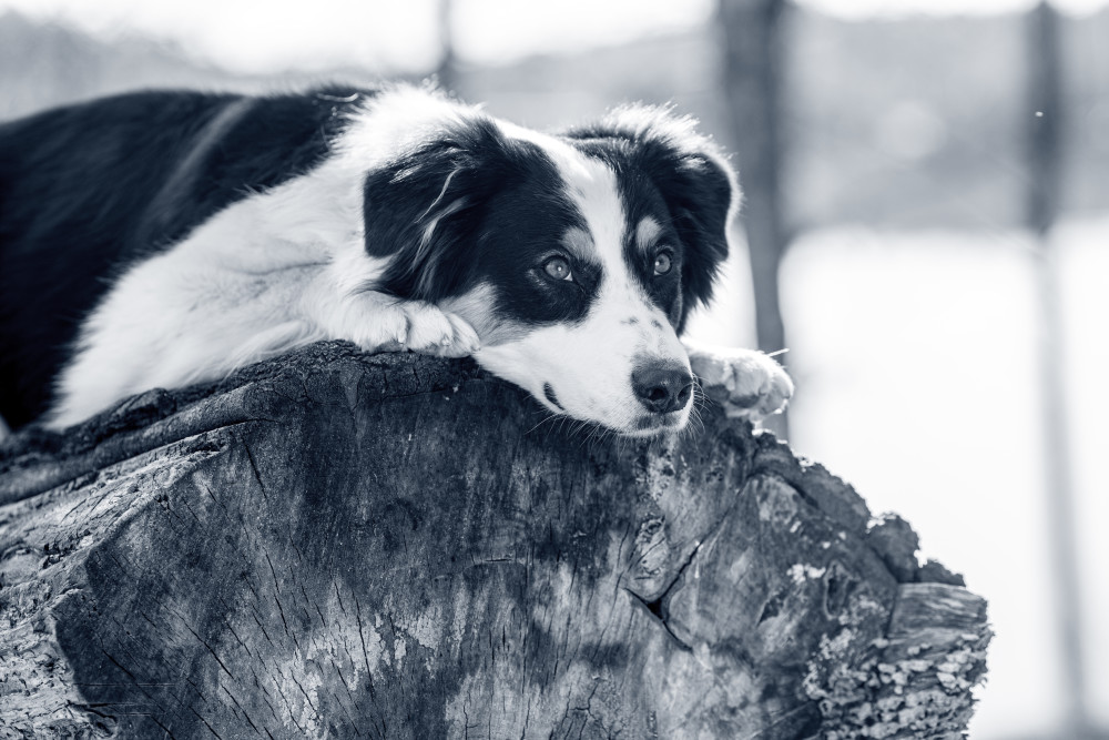índice condición corporal perros