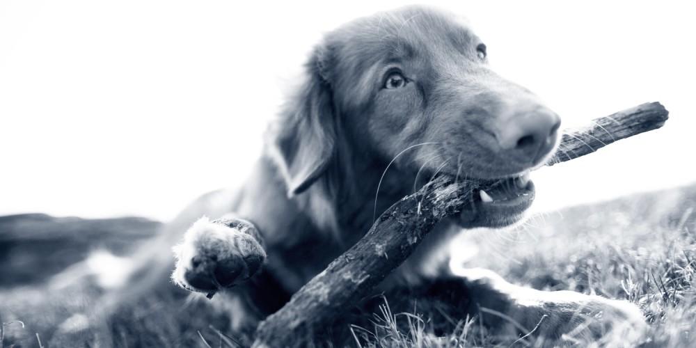 Vómitos en los perros