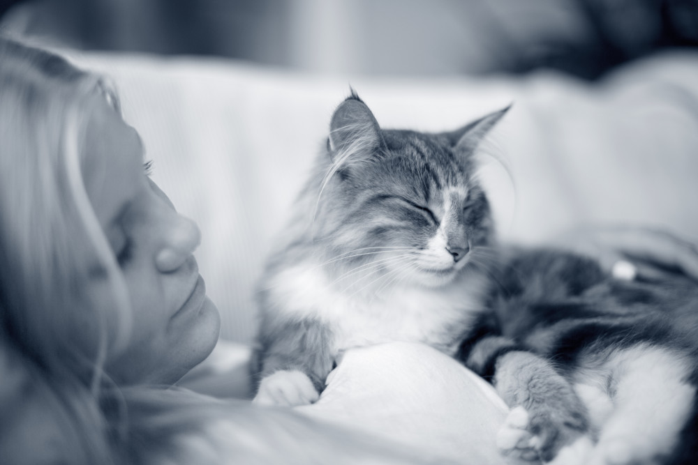 las pulgas en el gato