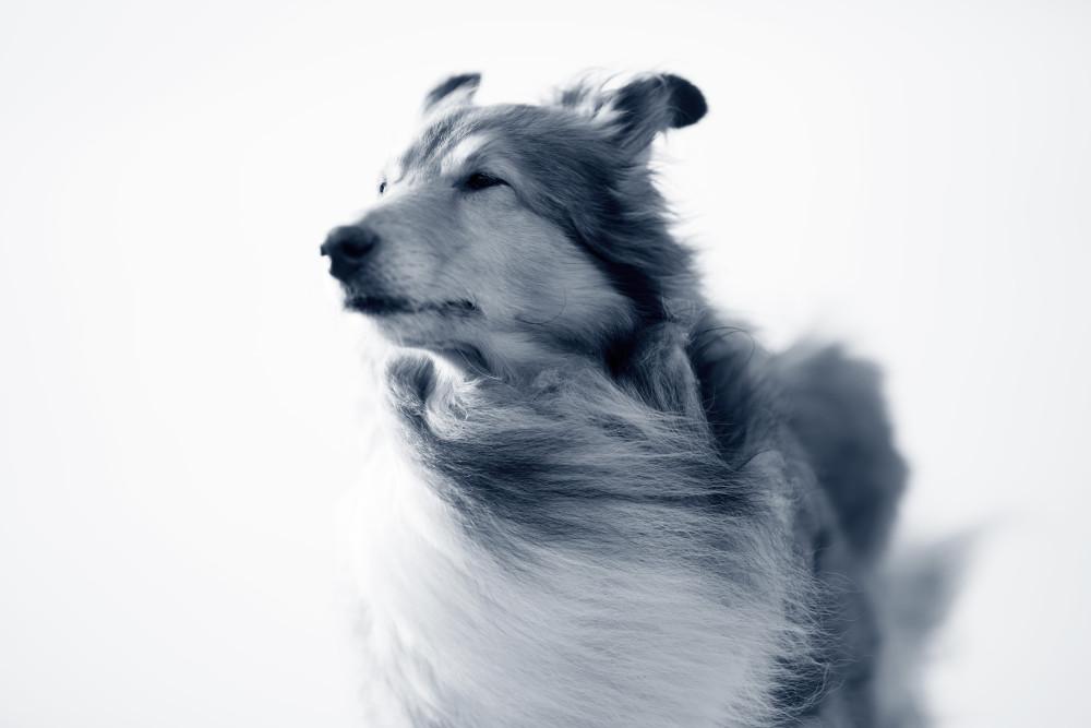 Intoxicación por ajo en perros