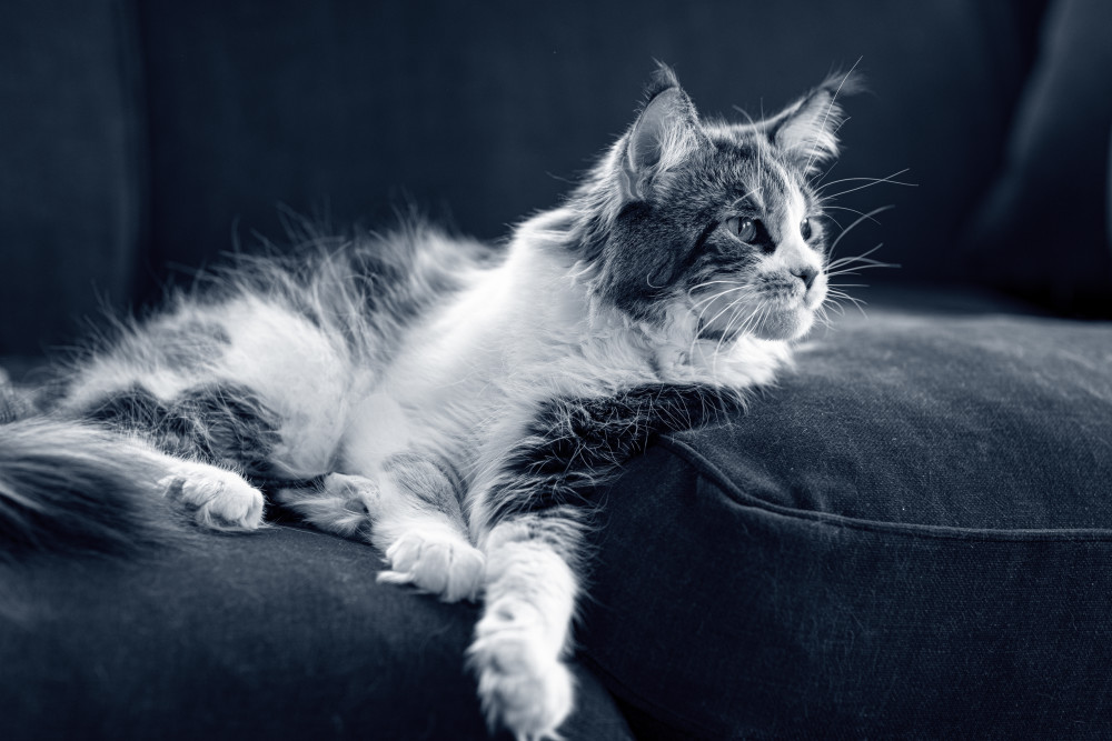 ácaros gato