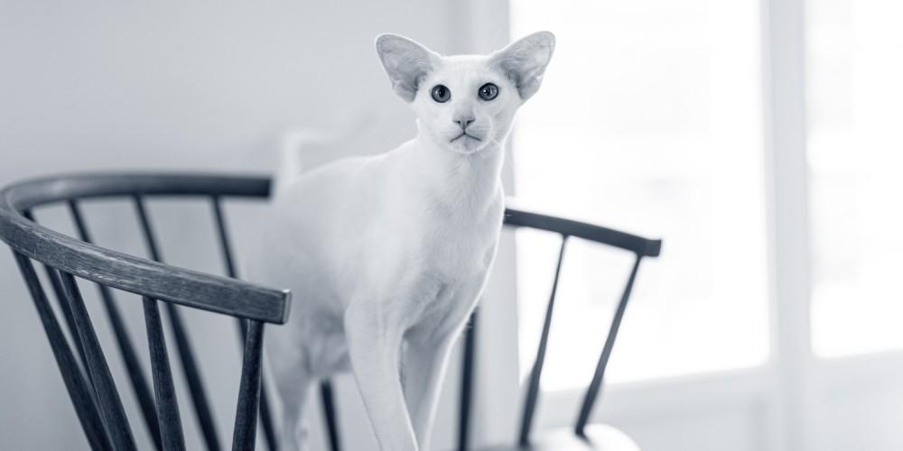 Chat Oriental