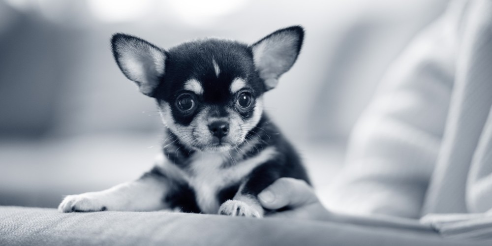 Cryptorchidie chez le chien