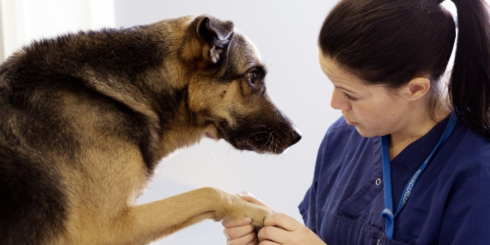 Ecoulement nasal chez le chien