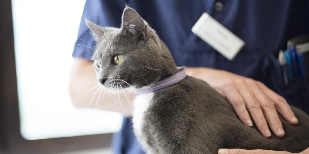 Gestion des sondes naso-oesophagiennes chez le chat
