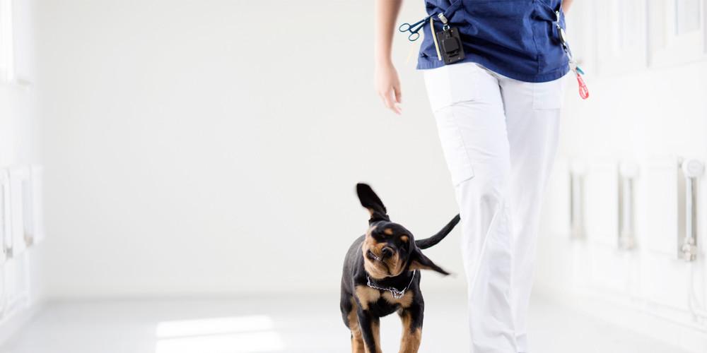 Inflammation des glandes anales du chien