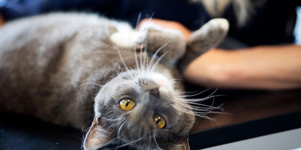 Lipome (boule de graisse) chez le chat