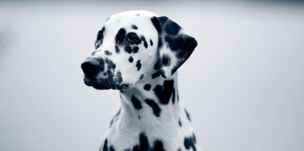 Mastocytome chez le chien