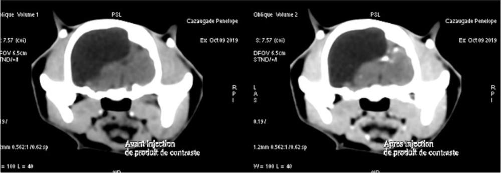 Hydrocéphalie chez un chat résolu par chirurgie cérébrale