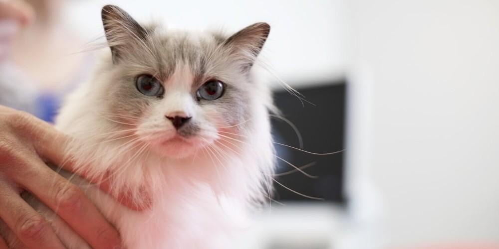 Souffle cardiaque chez le chat