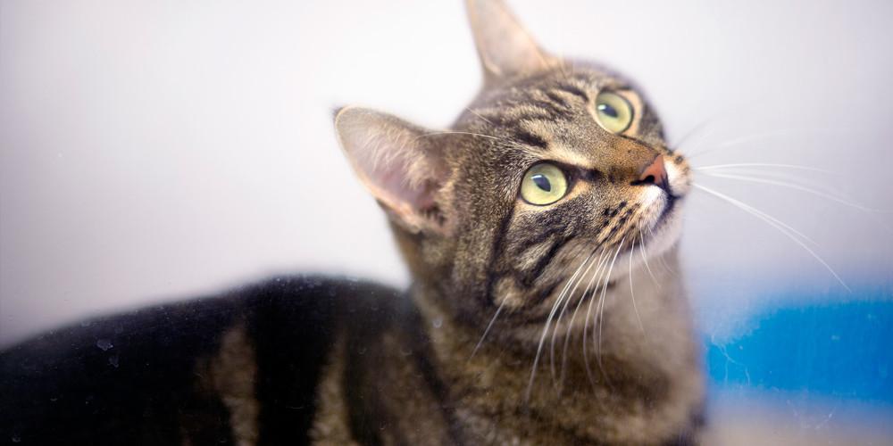 Ulcère de la cornée chez le chat