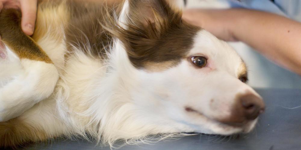 Ulcère de la cornée chez le chien
