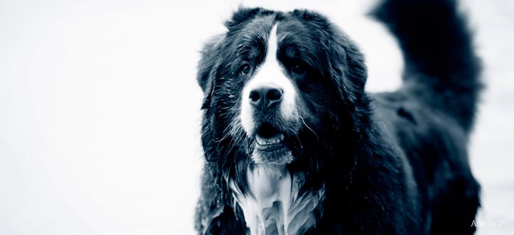 Yeux qui pleurent chez le chien