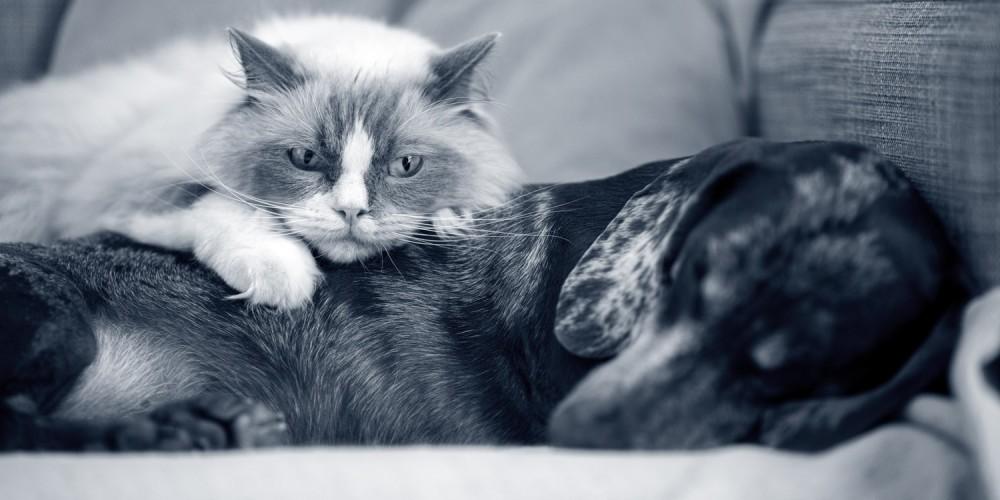 Chat et chien qui se reposent