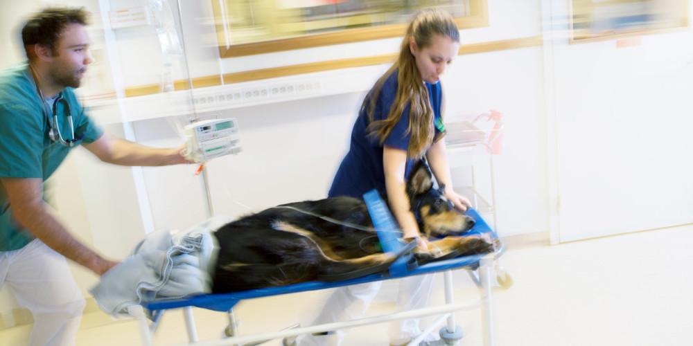 Soins d'urgence vétérinaire