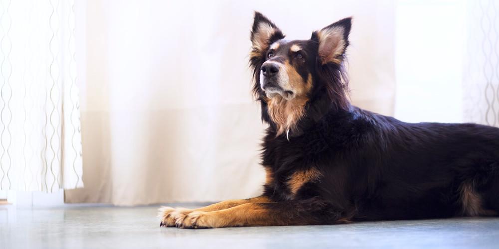 Diabetes hos hund