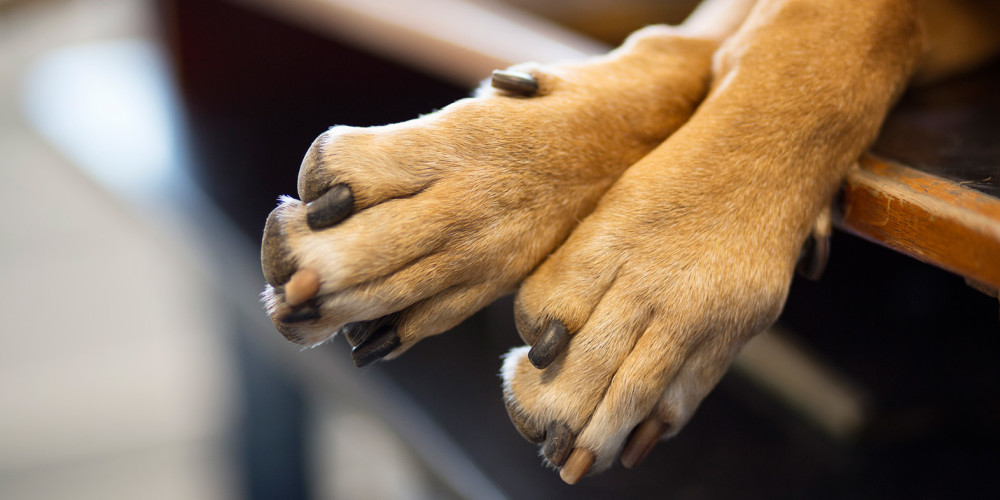 Bölder mellan tårna hos hund