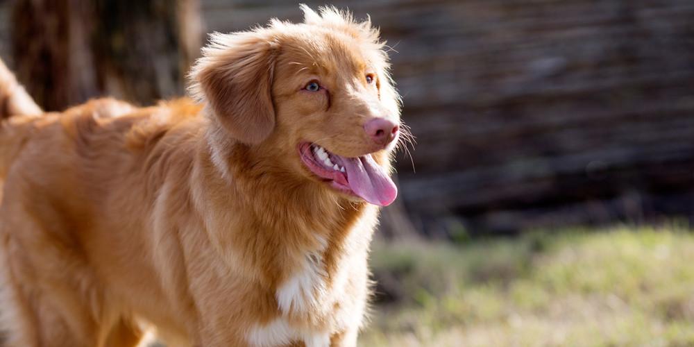 Problem med förhud hos hanhund