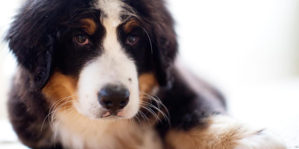 Chokladförgiftning hos hund