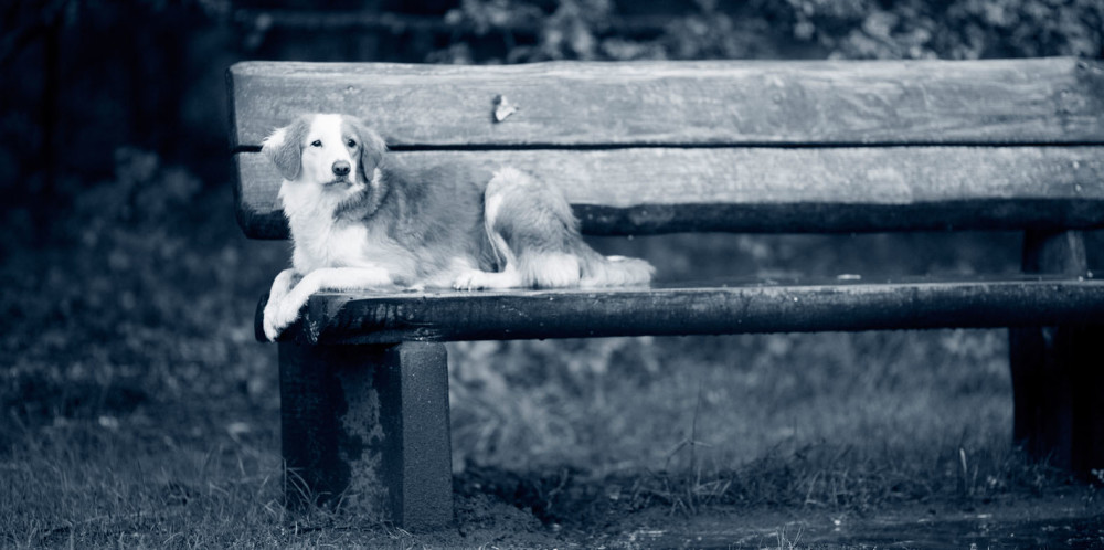 Aortastenos hos hund