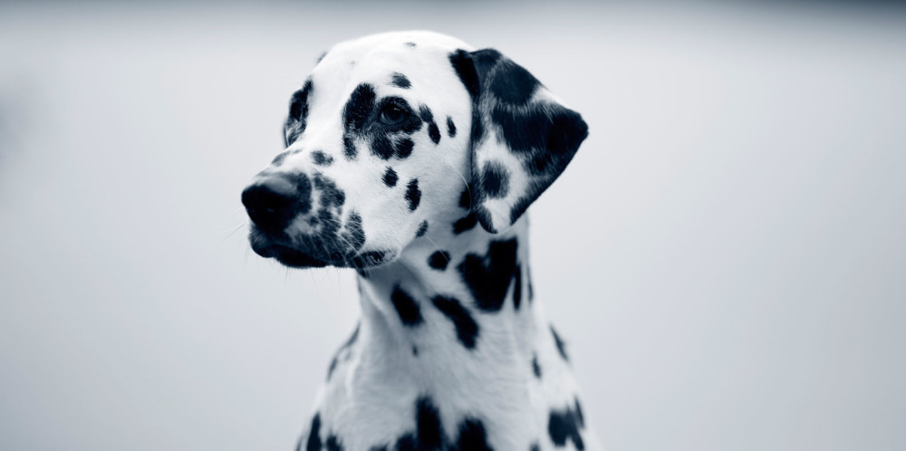 Dilaterad kardiomyopati – DCM Hund