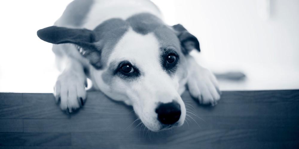 Analsäcksinflammation hos hund