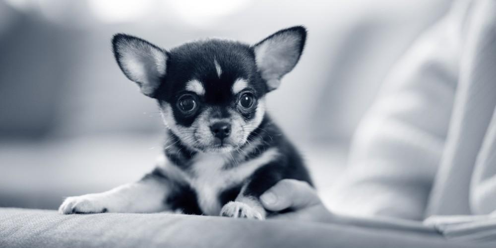Dirofilariose beim Hund