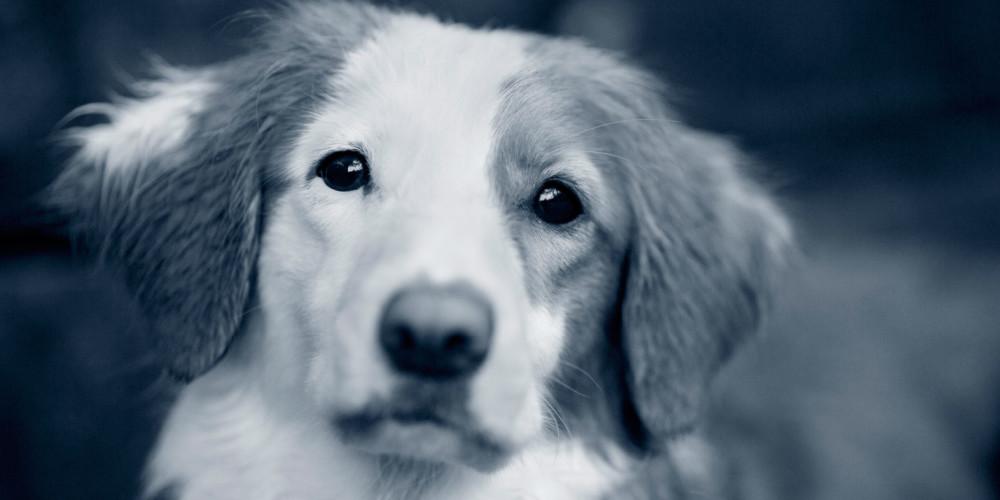 Hund jault