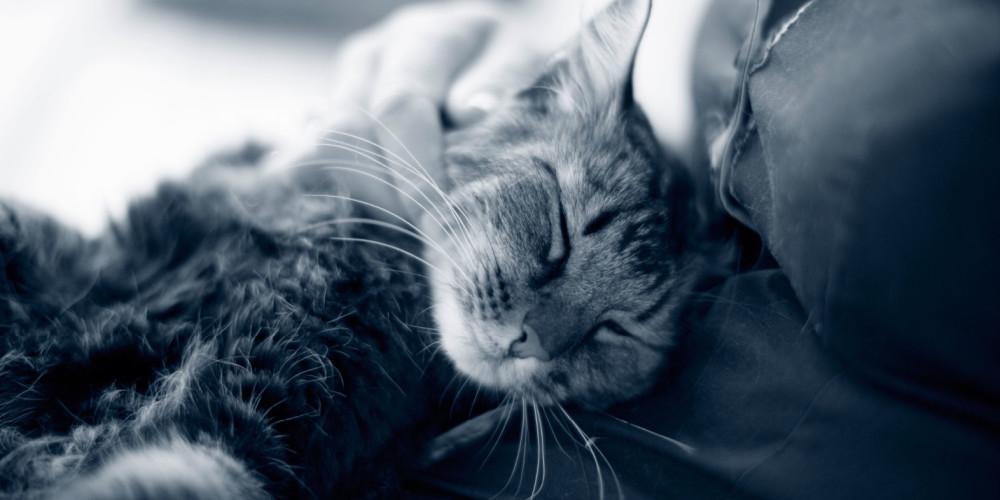 njursvikt hos katt
