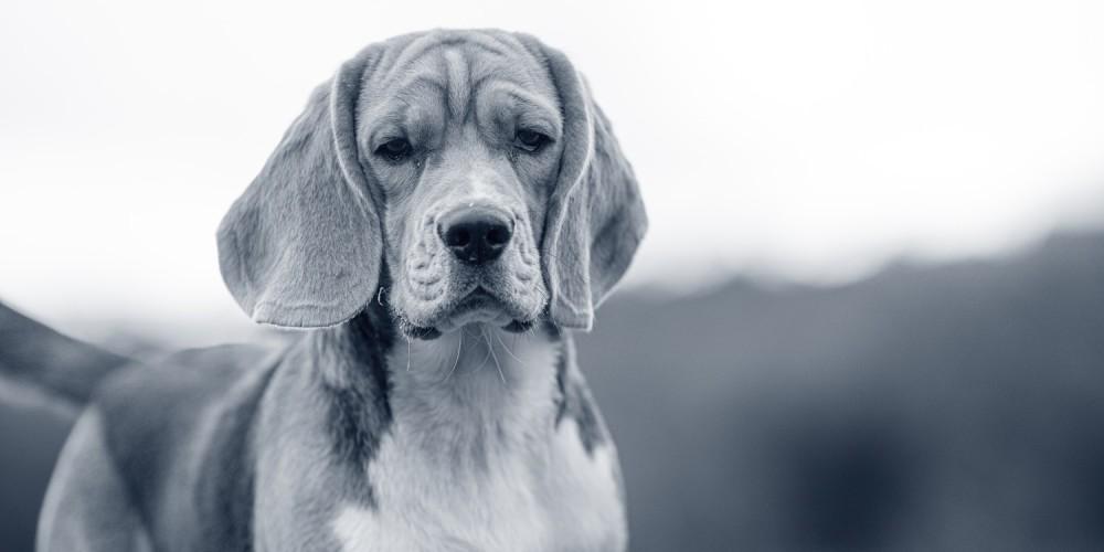 Beagle hundras