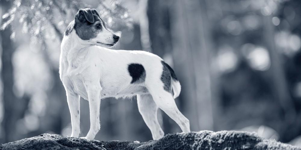Perro de granja danés y sueco