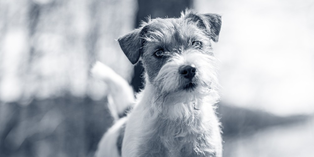 Jack russell terrier hundras