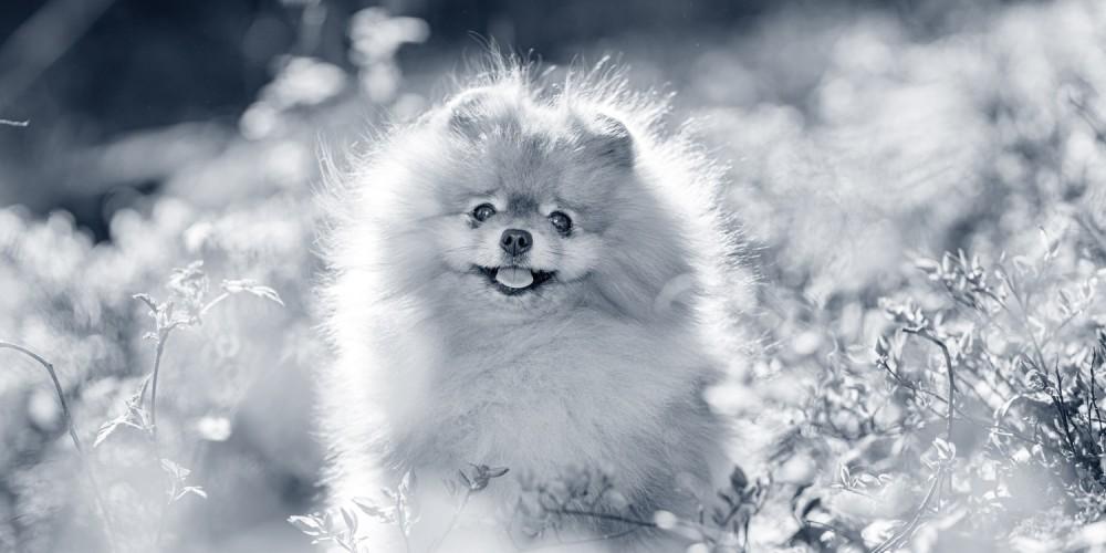 Pomeranian hundras