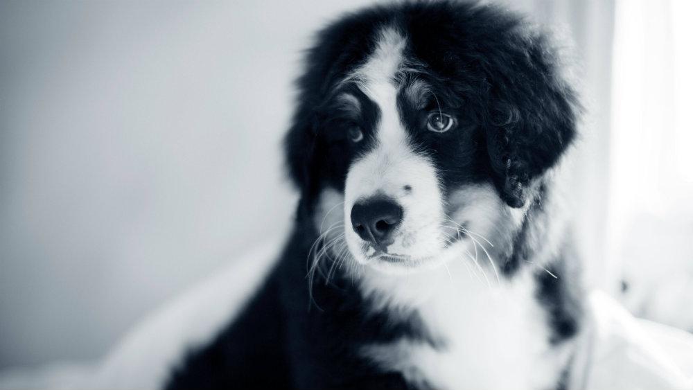 hond dekking