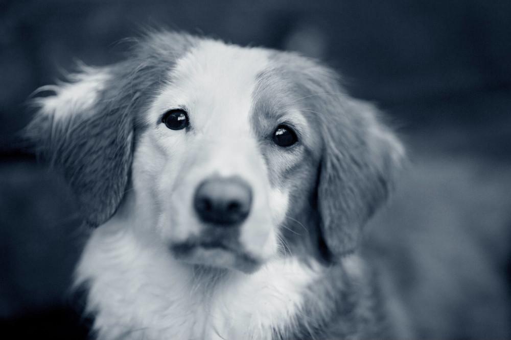 rense ører hund