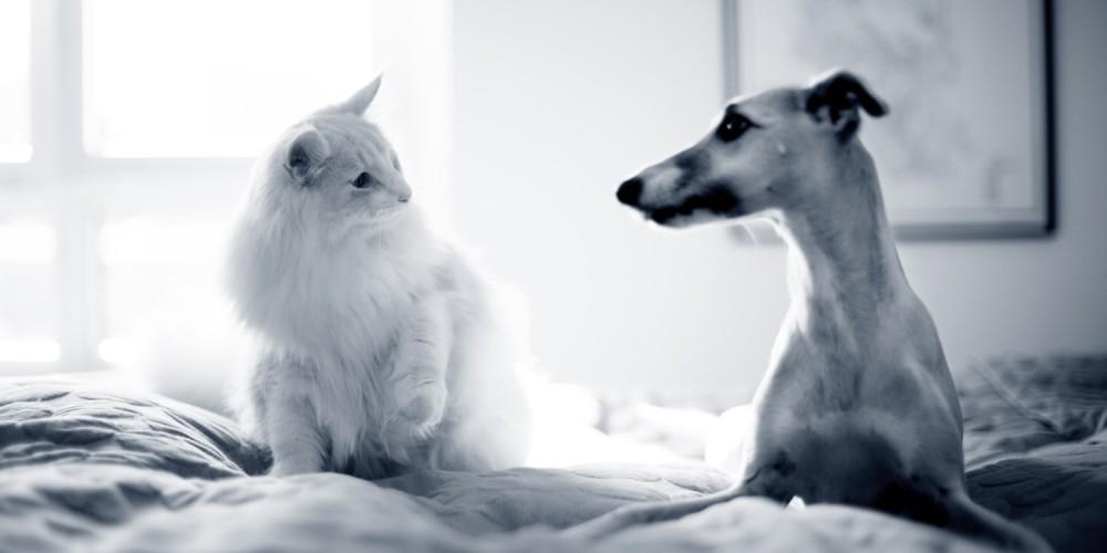 hond kat