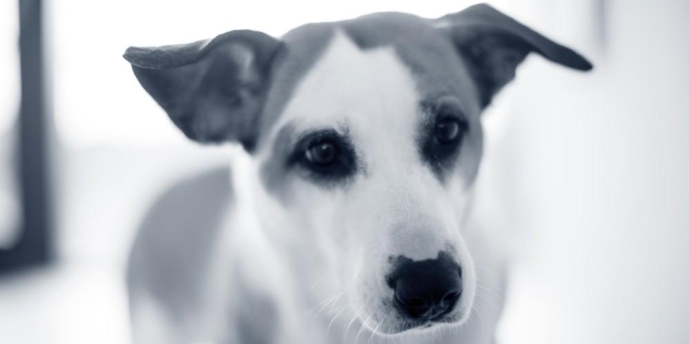 oude hond