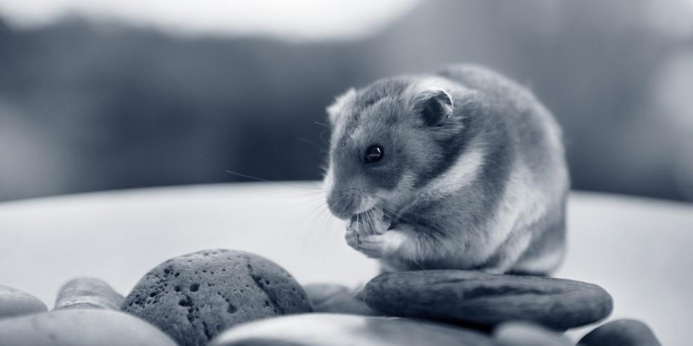 etende hamster