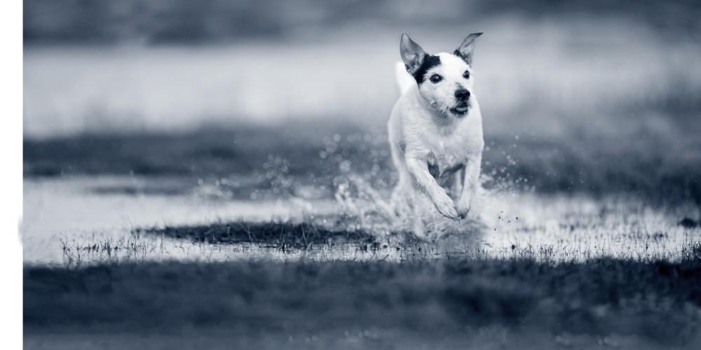 Hond rennen water hondenras