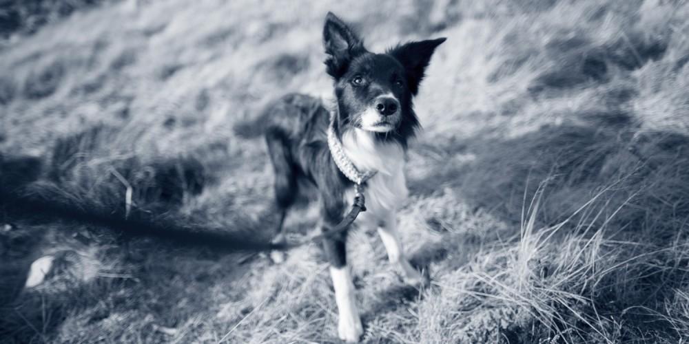 Progesteron bepaling honden