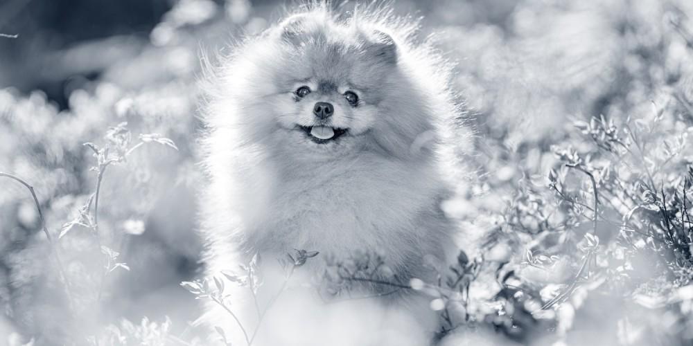 kortsnuitige hond
