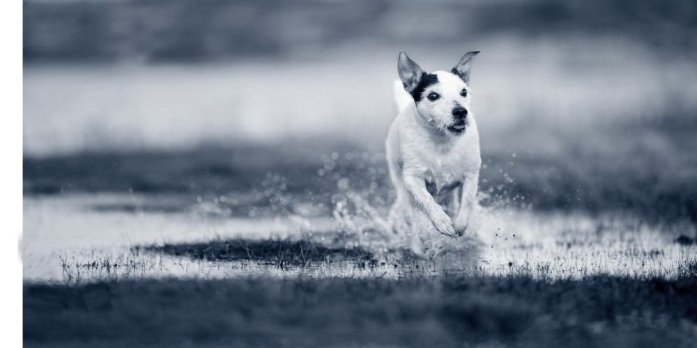 Hond door plas