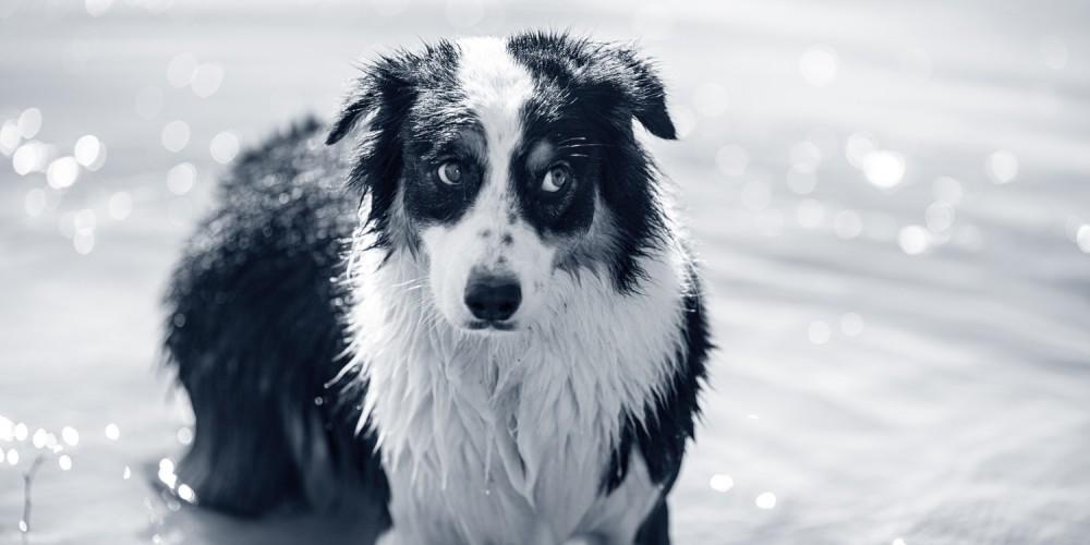 distichiasis hond