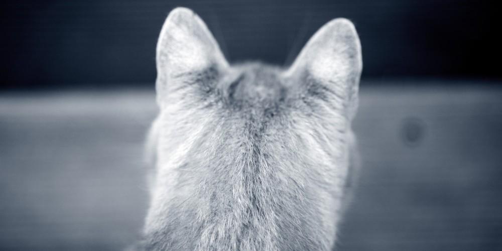 kattenoren