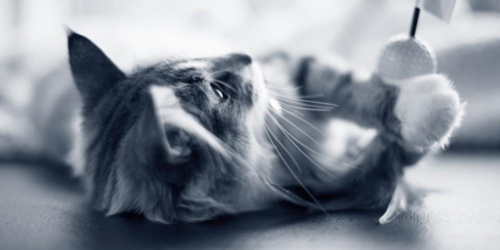 kattenkruid